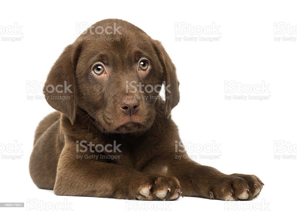 Labrador Retriever Puppy lying down, isolated stock photo