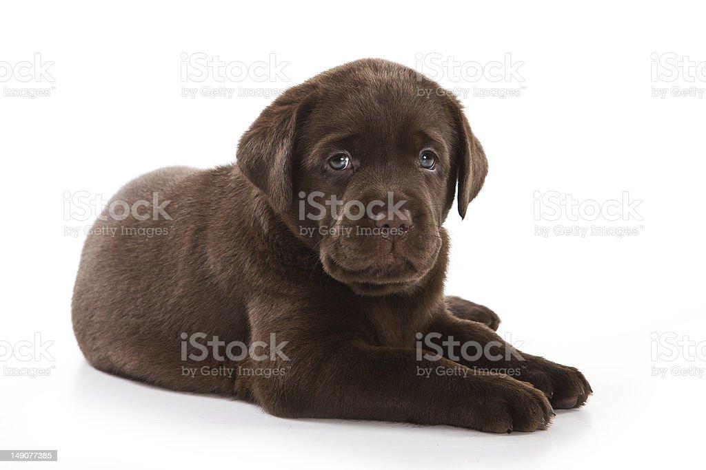 Labrador Retriever puppy on white stock photo