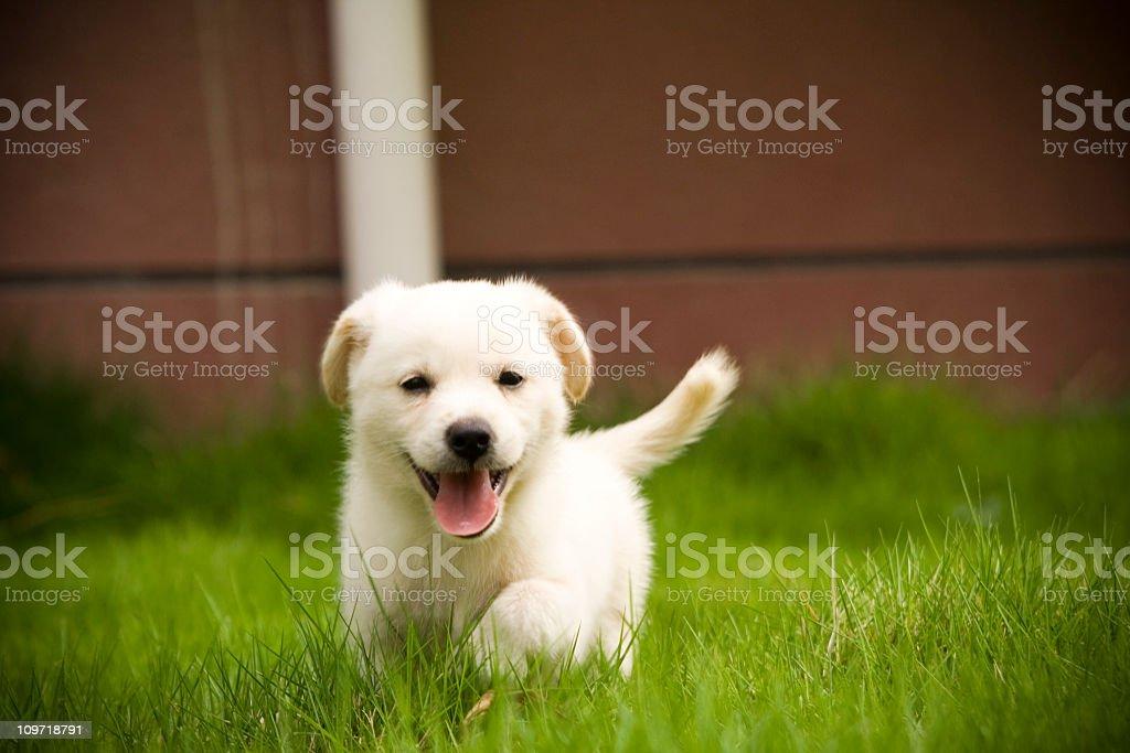 Labrador Retriever puppy royalty-free stock photo