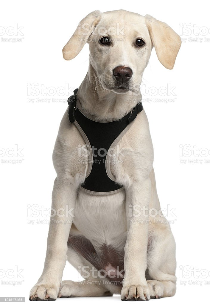 Labrador Retriever puppy, sixteen weeks old, sitting, white background. stock photo