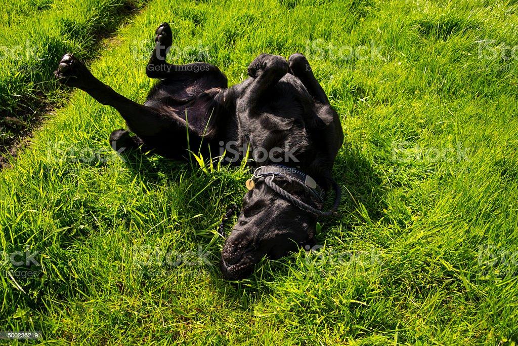 Labrador Retriever rolling in grass royalty-free stock photo