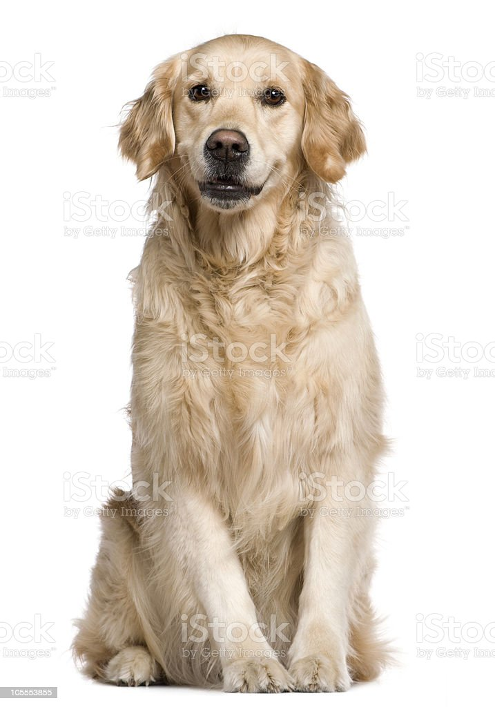 Labrador Retriever, sitting and looking at the camera. stock photo