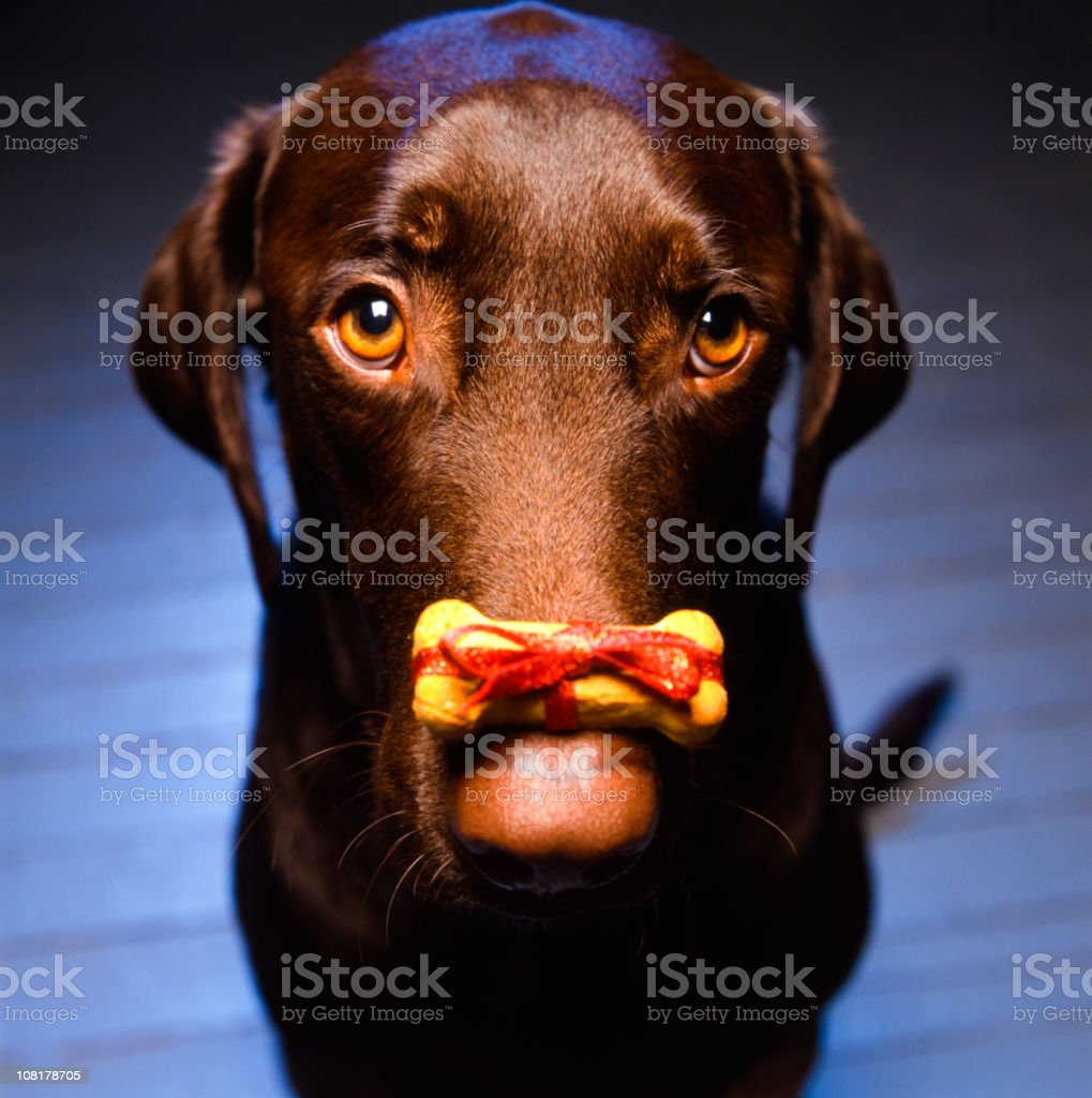 Labrador Retriever with Christmas Dog Biscuit Sitting on Nose royalty-free stock photo
