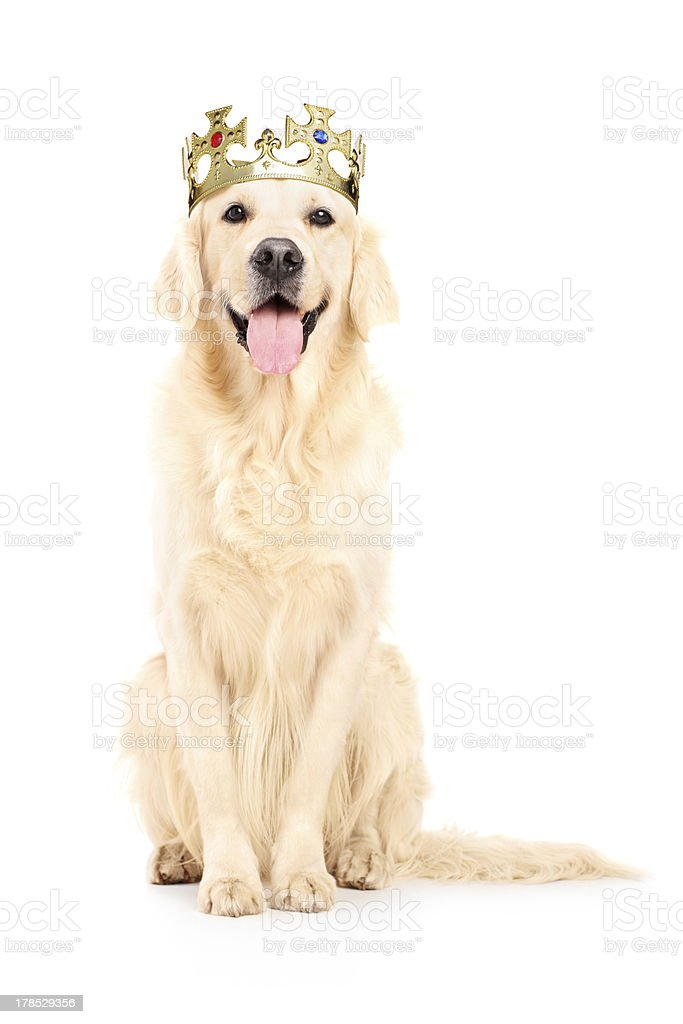 Labrador retriever with crown on his head royalty-free stock photo