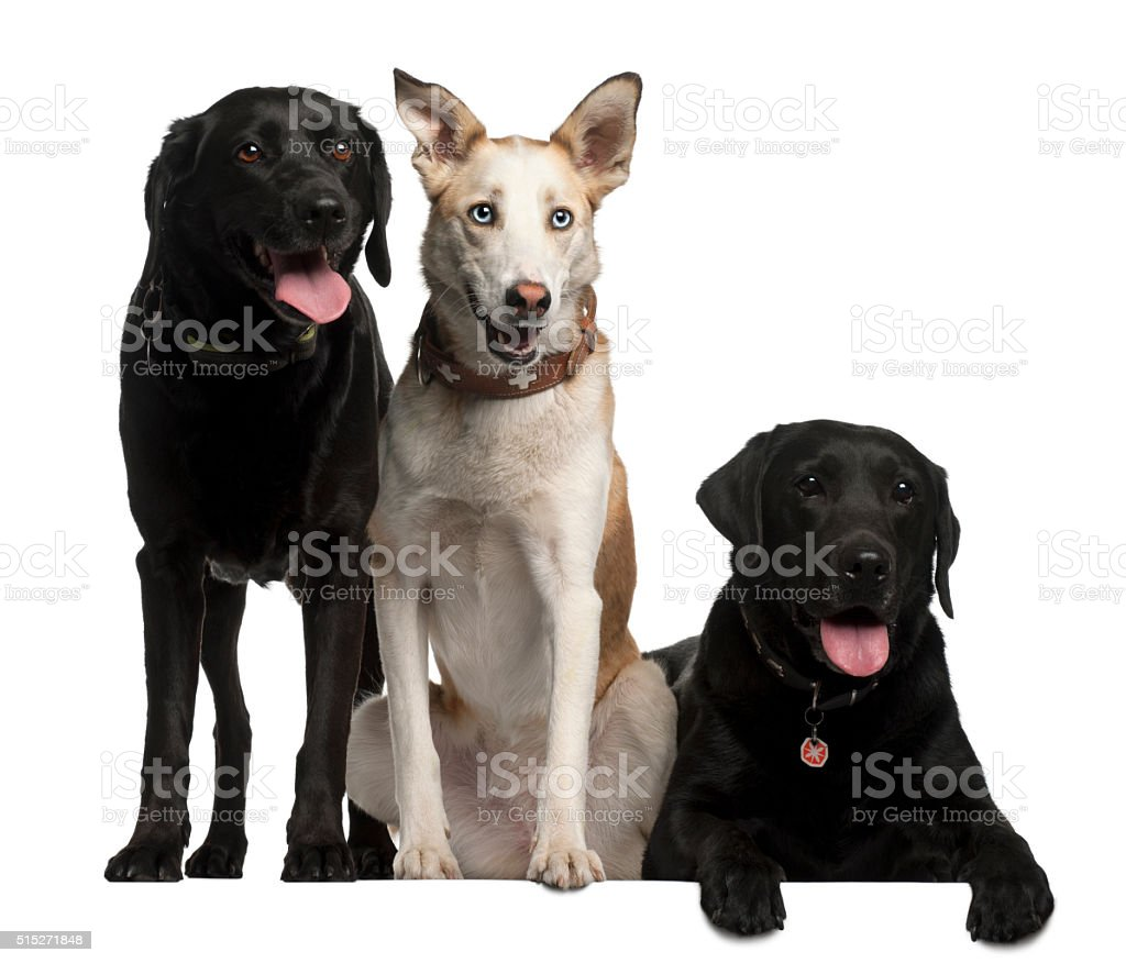 Labrador Retrievers and a Podenco Canario, 4 years old, stock photo