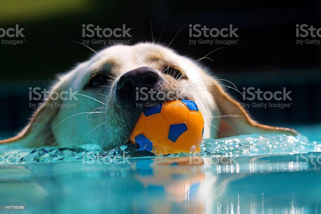 Labrador retrieving ball stock photo