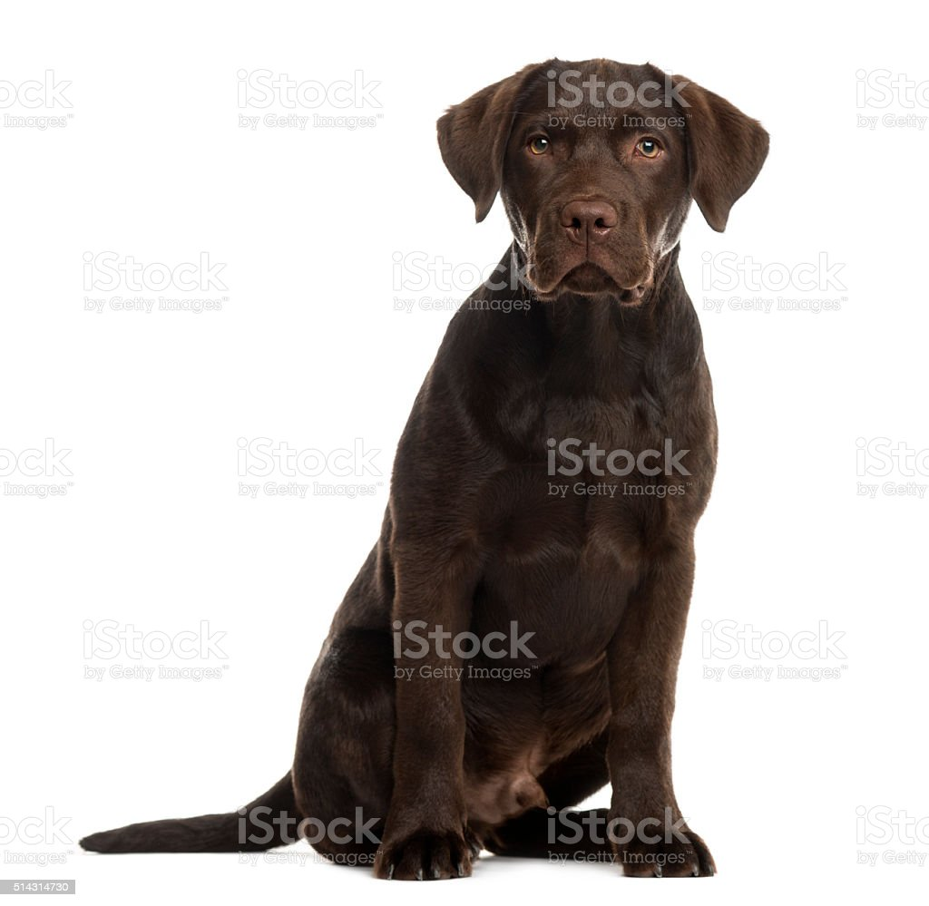 Labrador sitting in front of a white background stock photo