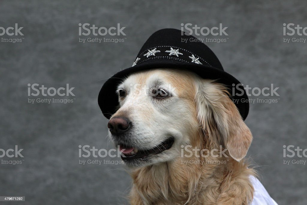 Labrador with Tyrolean hat and white blouse stock photo