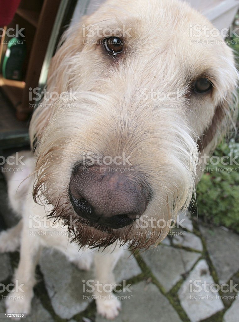 Labrador/Italian Spinone dog. stock photo