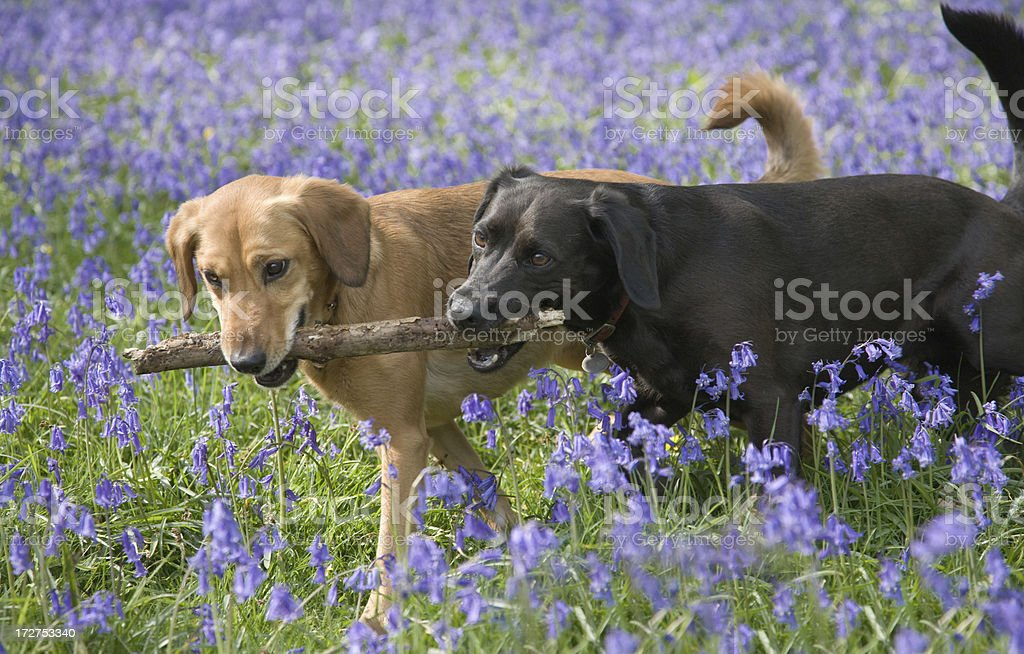 Labradors having fun in the bluebells and chewing a stick royalty-free stock photo