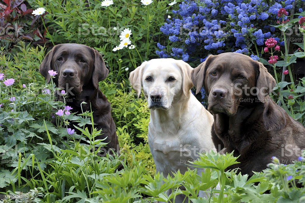 labradors in the flowers royalty-free stock photo