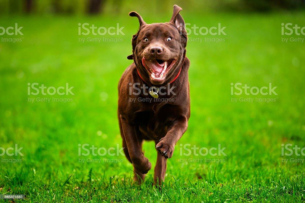 Labrodor Dog Run stock photo