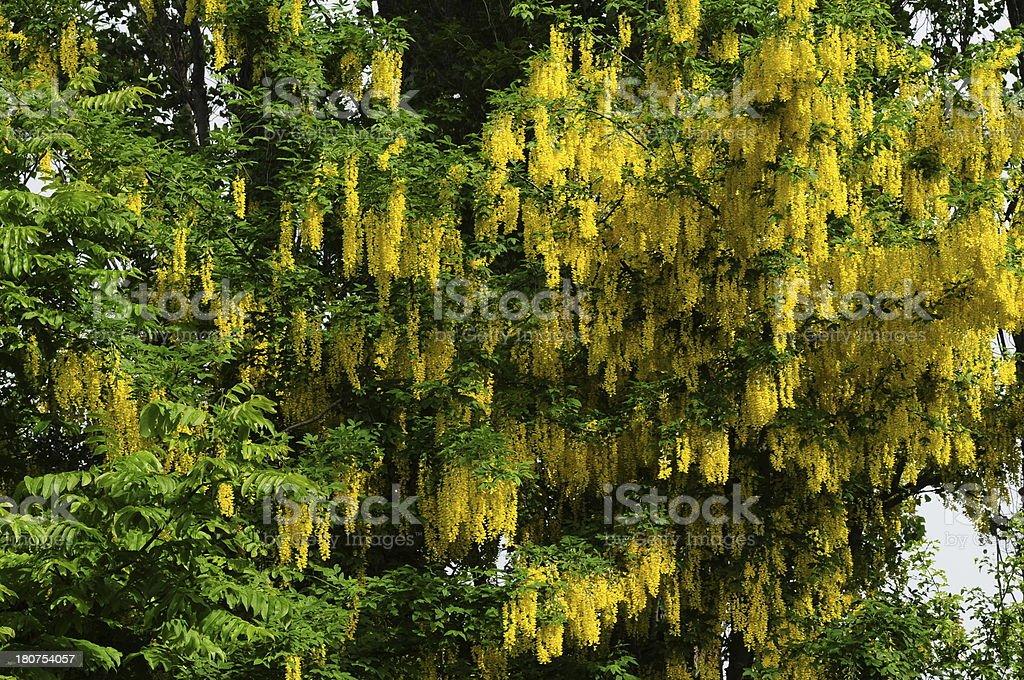 Laburnam tree, U.K. stock photo