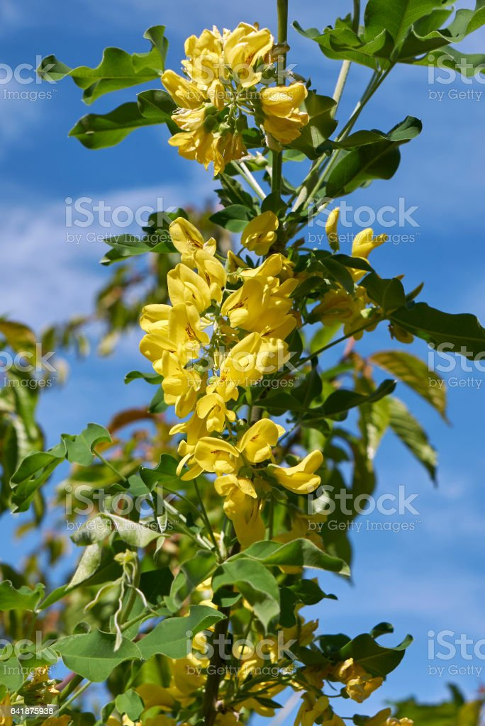 laburnum anagyroides flowers stock photo