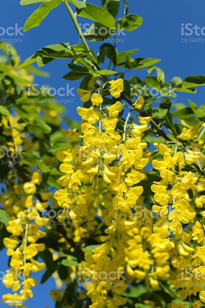 Laburnum flowers stock photo