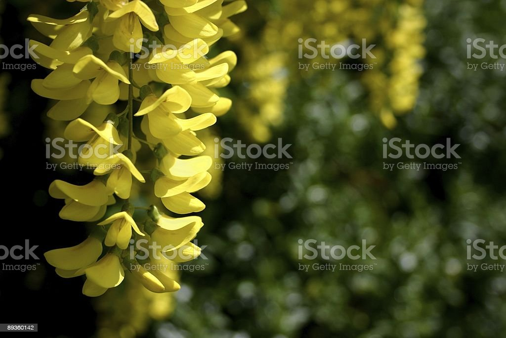 Laburnum in its golden yellow bloom - Vossii variety stock photo