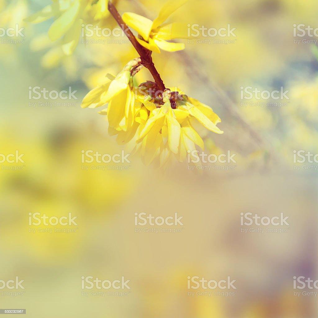 Laburnum spring flower stock photo
