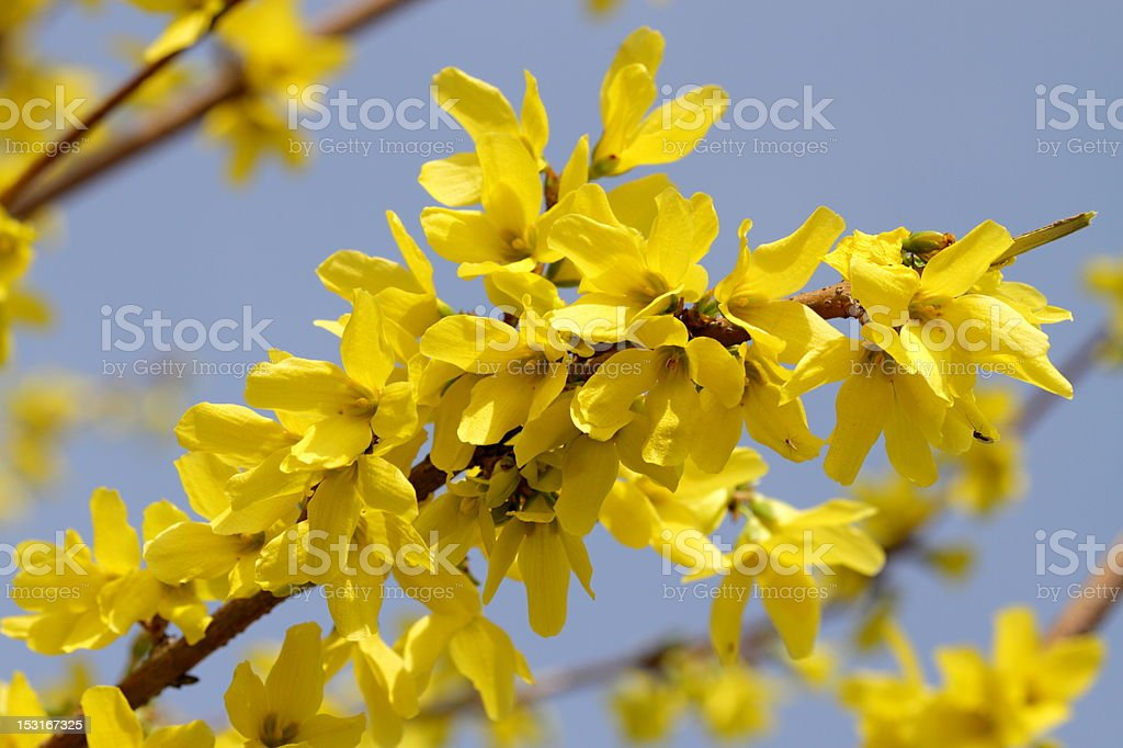 Laburnum tree stock photo