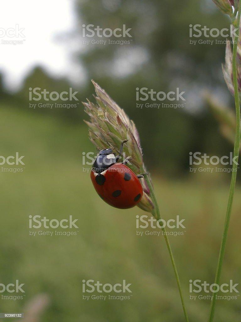 Labybug stock photo