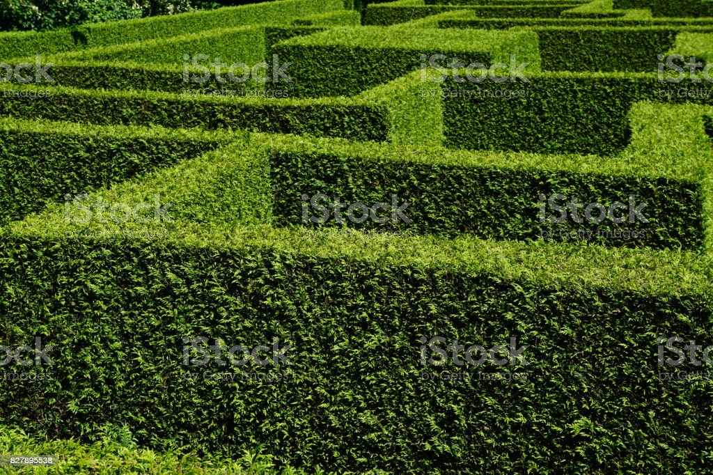 overview of labyrinth of green hedges accurately cut