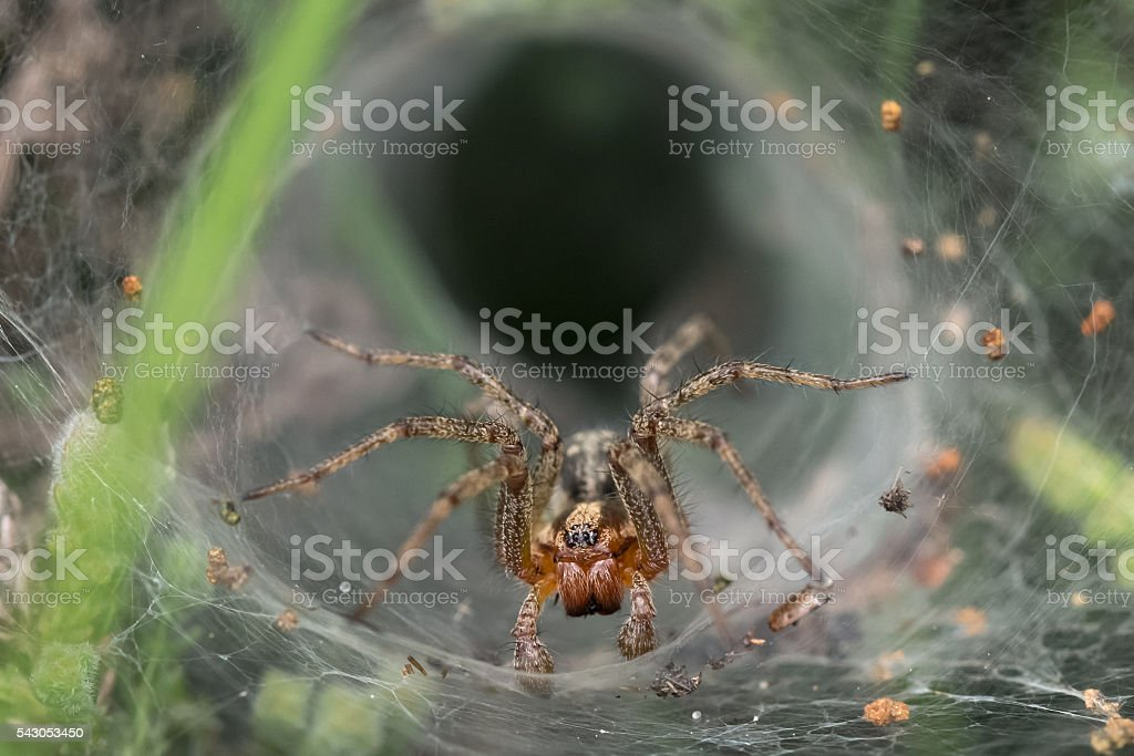 Labyrinth or Funnel-web Spider (Agelena labyrinthica) stock photo