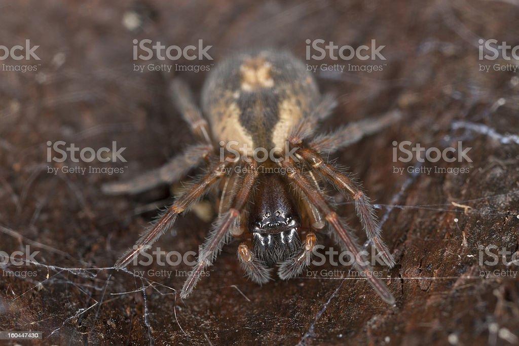 Lace webbed spider (Amaurobius fenestralis ) sitting on wood royalty-free stock photo