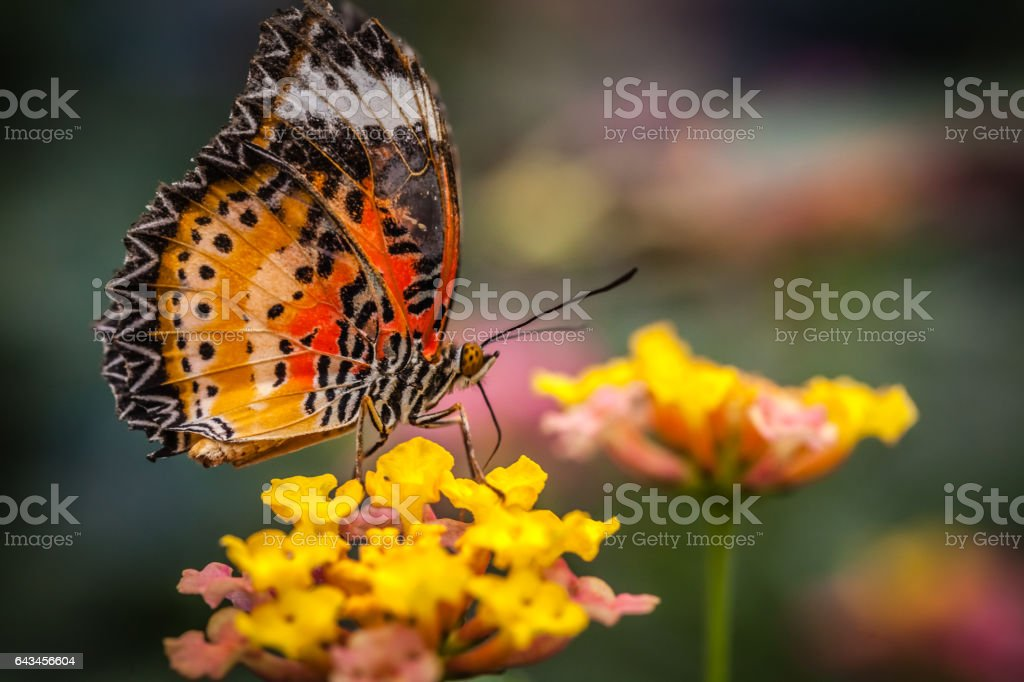 Lacewing butterfly on a flower stock photo