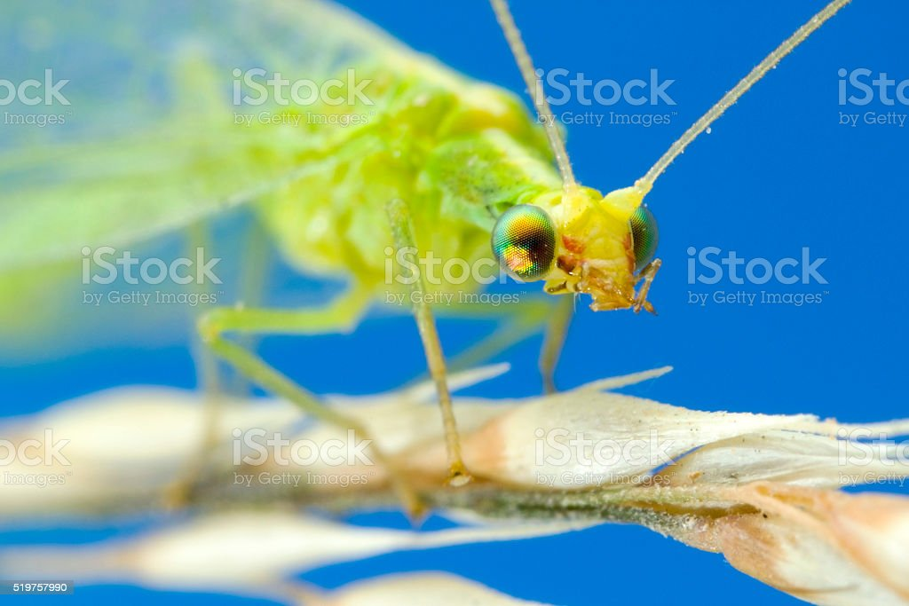Lacewing Extreme Macro stock photo