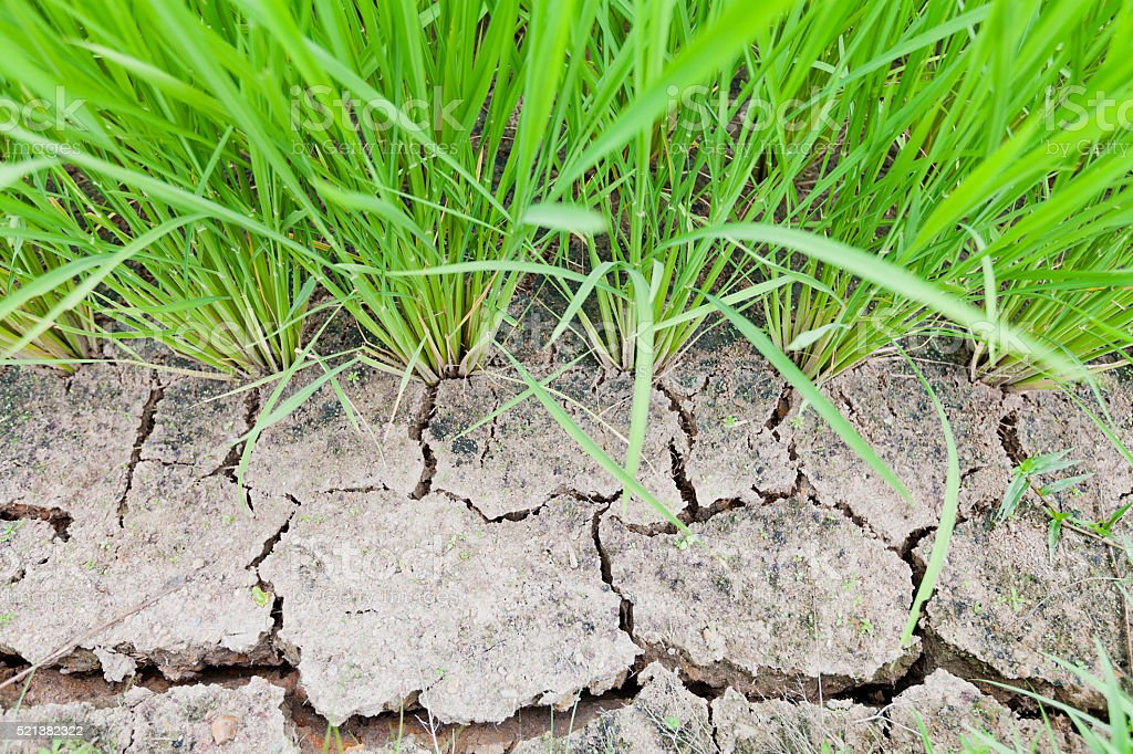 Lack of Water on Drought Rice Land stock photo
