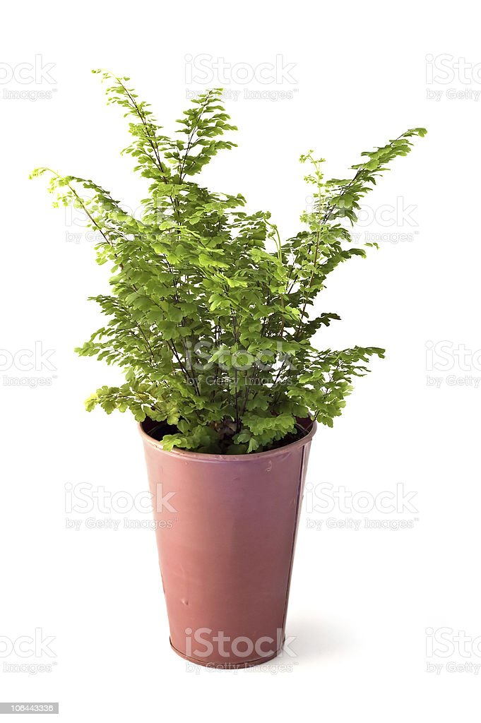 Lacy Fern royalty-free stock photo