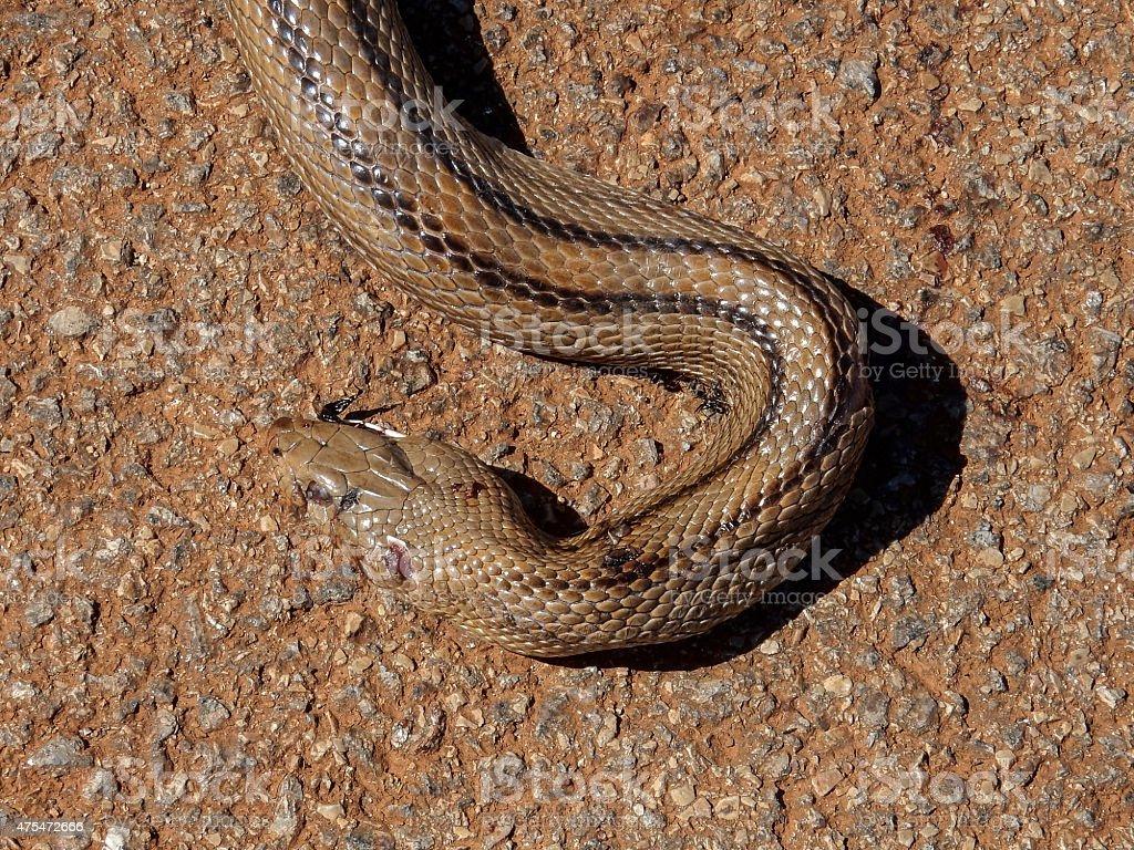 Ladder snake crossing road in the Algarve royalty-free stock photo
