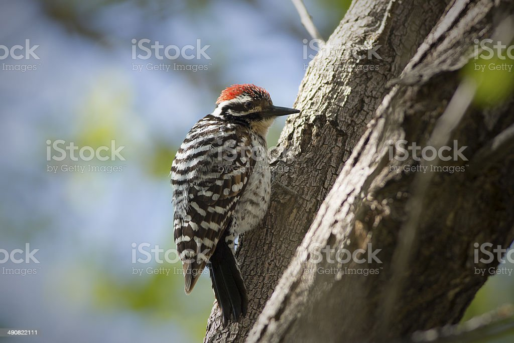 Ladder-backed Woodpecker royalty-free stock photo