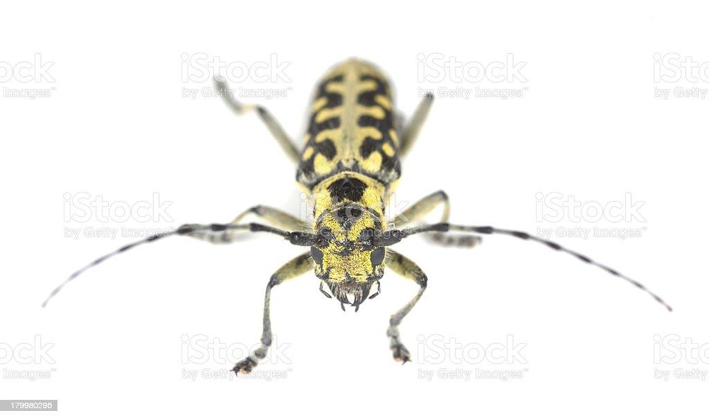 Ladder-marked long horn beetle, Saperda scalaris isolated on white background royalty-free stock photo