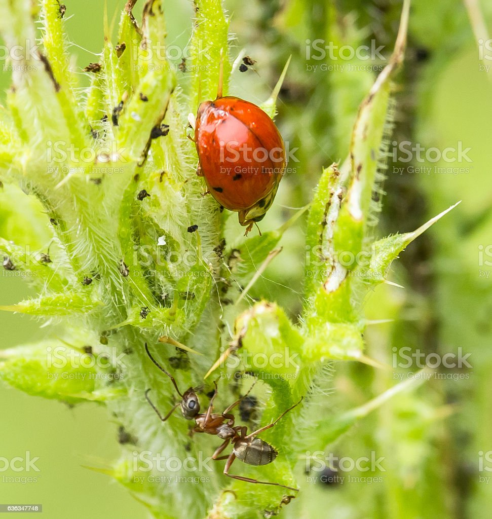 Lady Bug, Ants, Aphids stock photo
