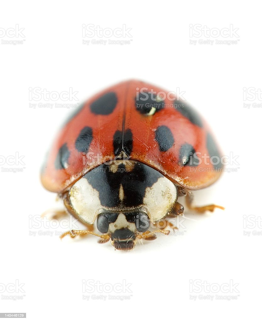 Lady bug beetle stock photo