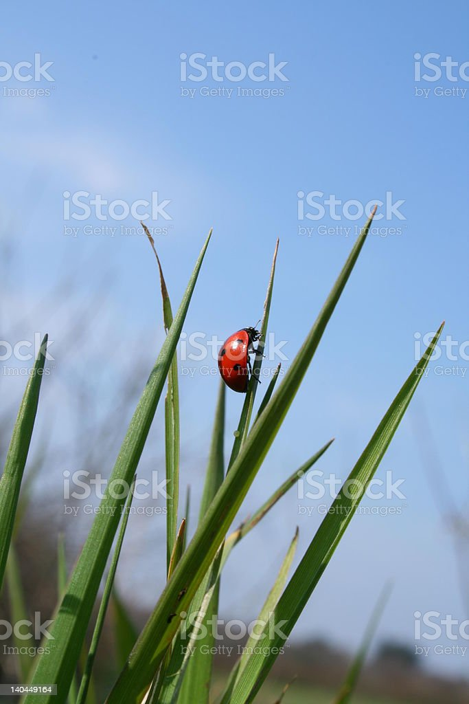 Lady bug climbing grass on blue sky royalty-free stock photo