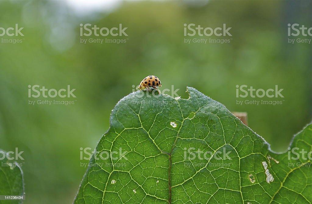 Lady Bug, in organic garden. stock photo