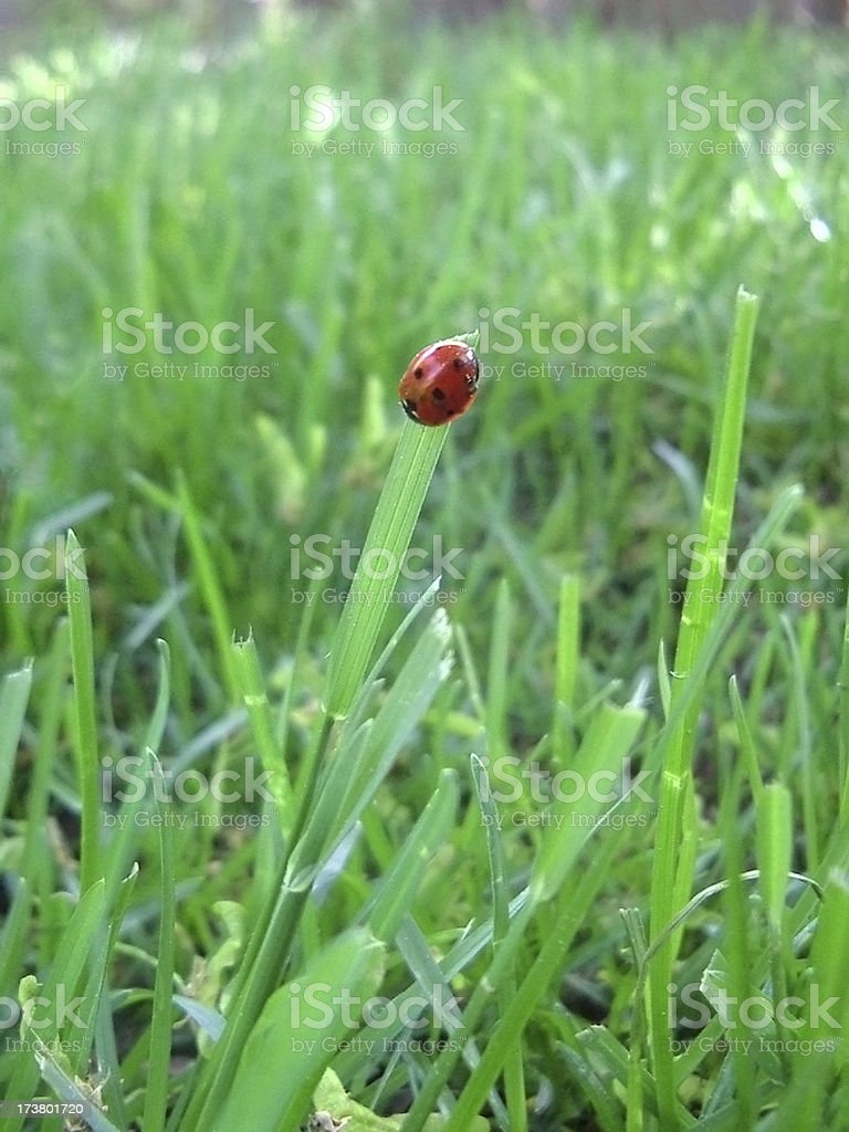 Lady Bug on a Blade of Grass stock photo