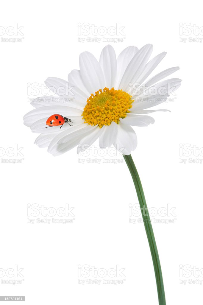 Lady bug on a daisy royalty-free stock photo