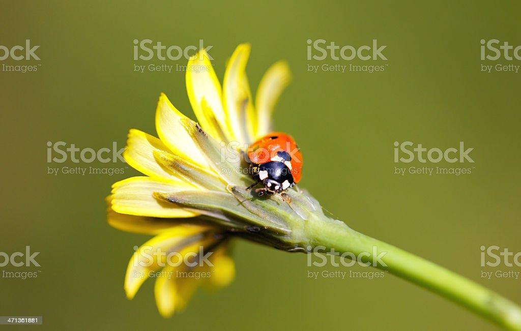 Lady bug on a daisy royalty-free stock photo