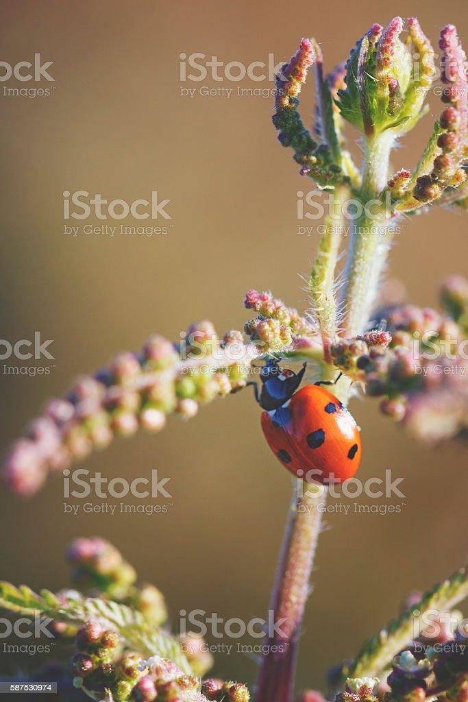 lady bug on a wild flower stock photo