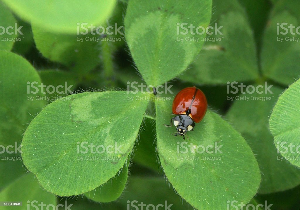 Lady Bug on Clover Leaf royalty-free stock photo