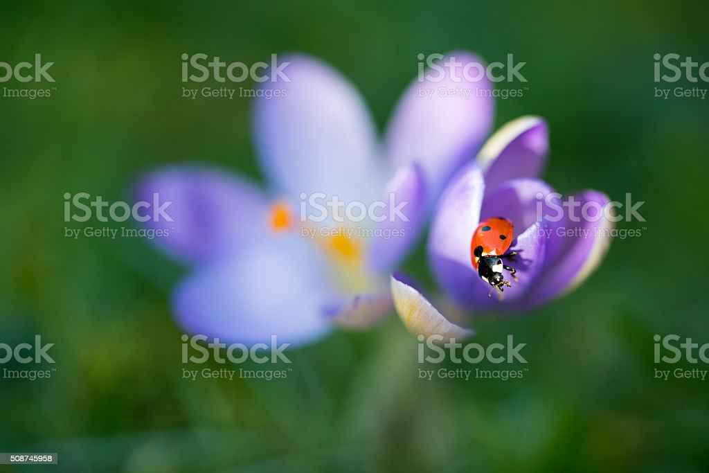 Lady bug on Crocus flower, spring background stock photo