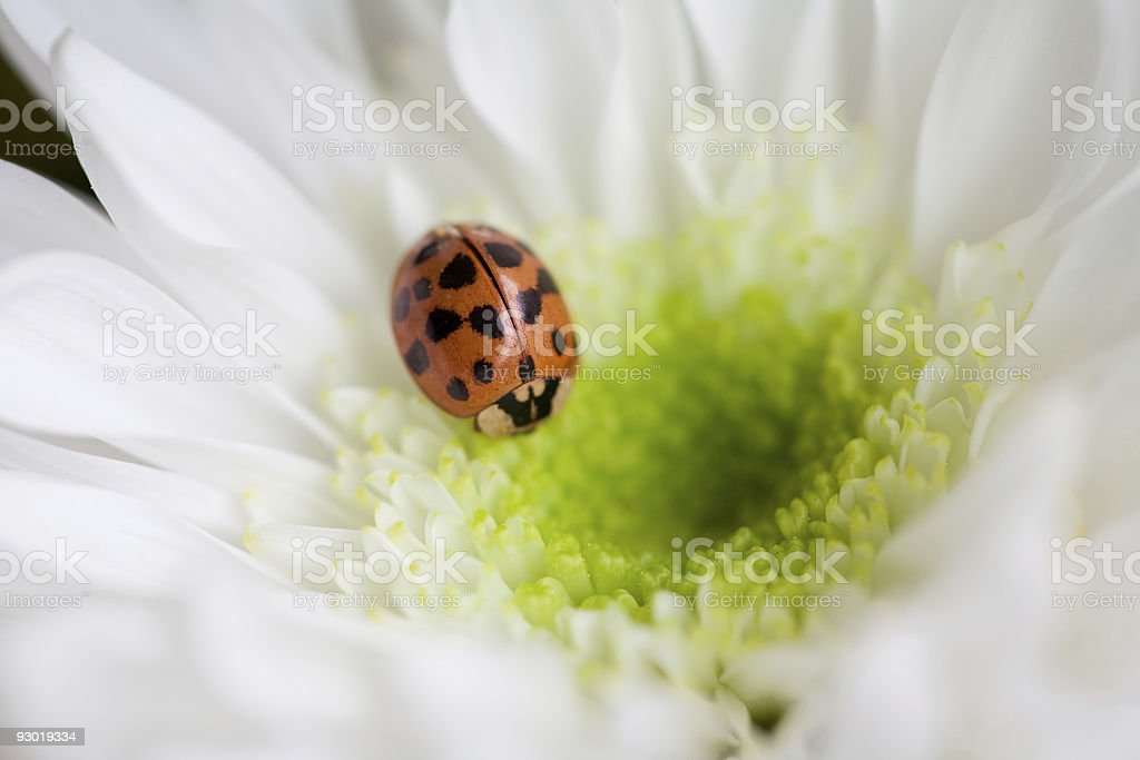 Lady Bug on Flower - Macro Shot stock photo