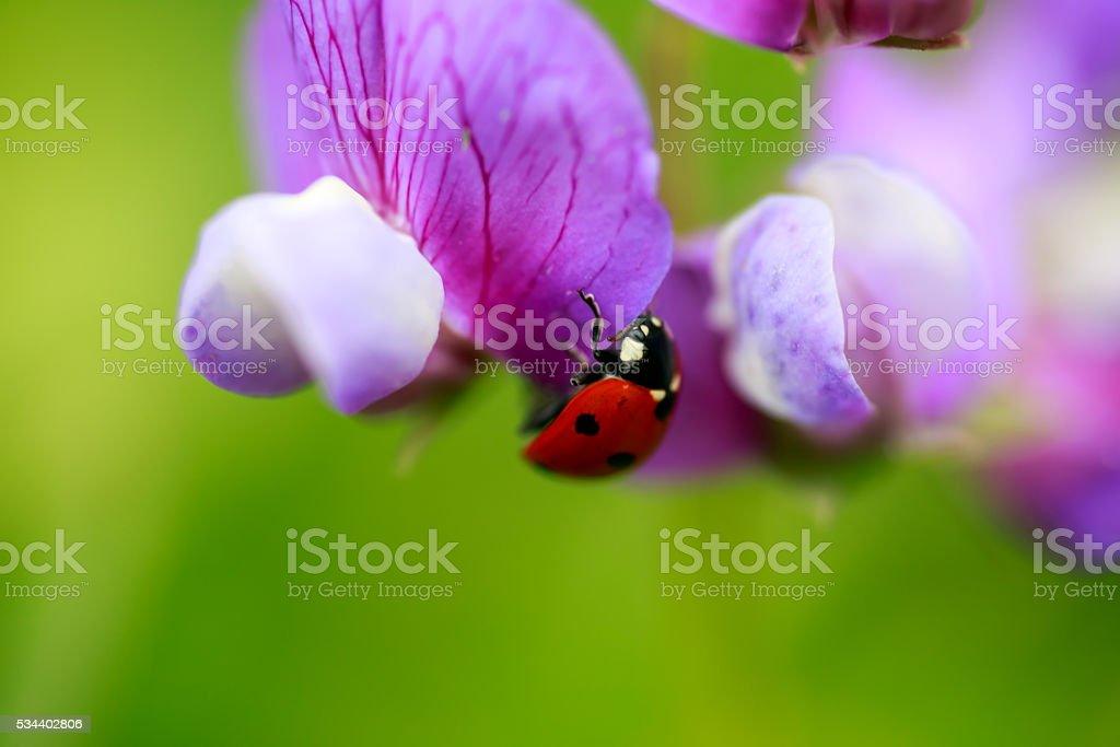 Lady bug on flower stock photo