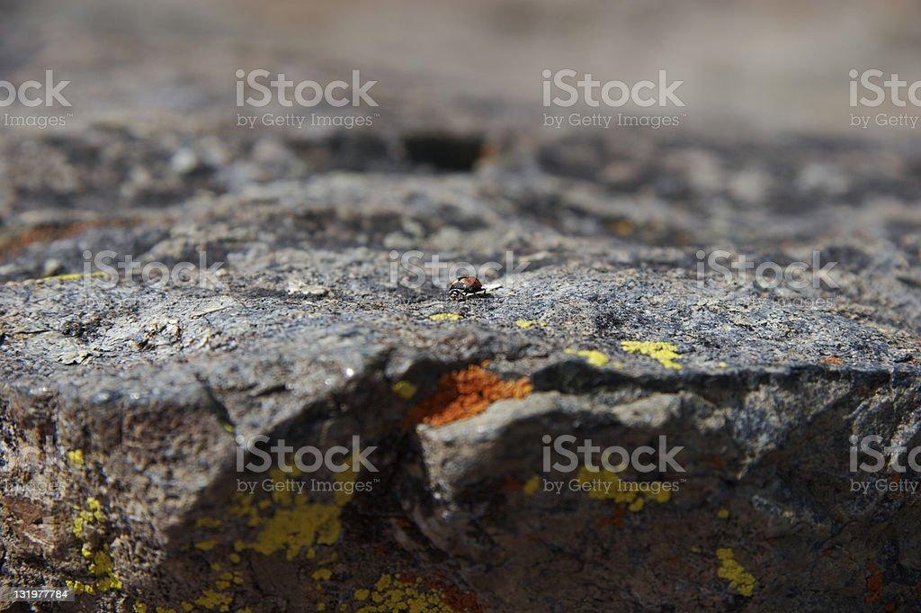 Lady Bug on Ingalls Peak royalty-free stock photo