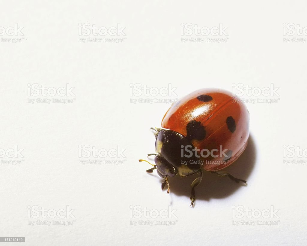 Lady bug royalty-free stock photo