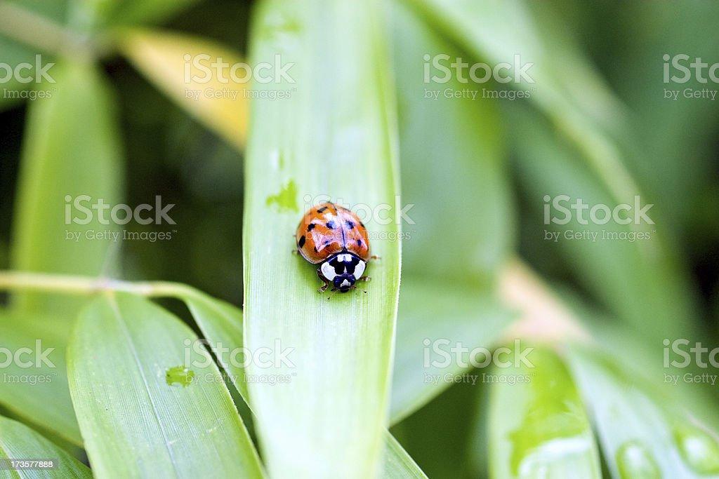 Lady bug royalty-free stock photo