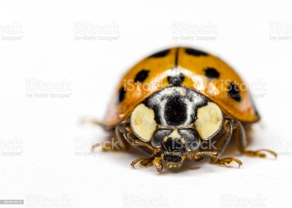 Lady bug - super macro stock photo