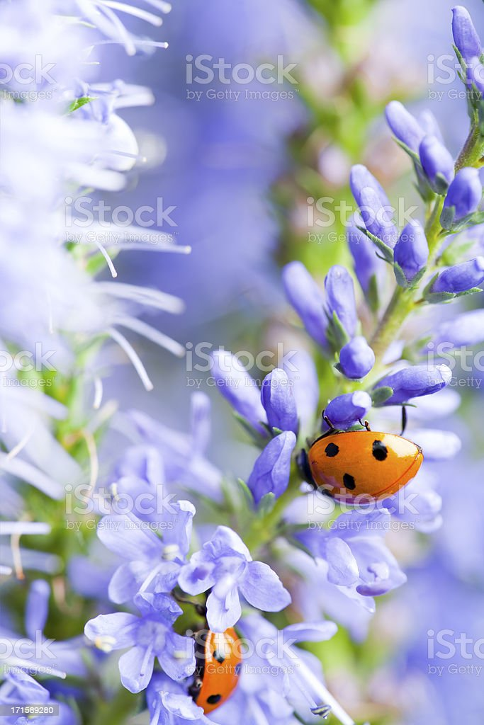 Lady bugs on blue veronica royalty-free stock photo